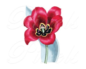 TULIP Instant Download Digital Image, digital download, spring red flower clipart image no.240