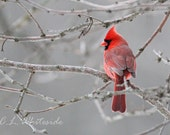 Custom Size Cardinal