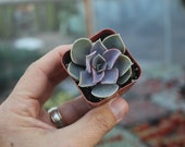 """SAMPLE 1 Beautiful Assorted Succulent in 2"""" container succulents great for WEDDING FAVOR & gifts or samples+"""