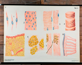 Vintage Belgian School Chart of Tissue Cells