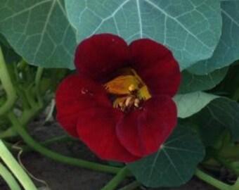 Heirloom, Nasturtium Black Velvet Seeds, Intense Velvety Black Garden Flower, 10 Seeds