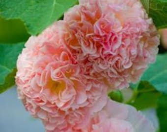 Heirloom Double Carnival Blush Pink Hollyhock, 10 Seeds