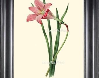 BOTANICAL PRINT Clarke  Botanical Art Print 39 Beautiful Rosepink Zephyr Lily Pink Rain Lily Flower Antique Garden Home Decor to Frame