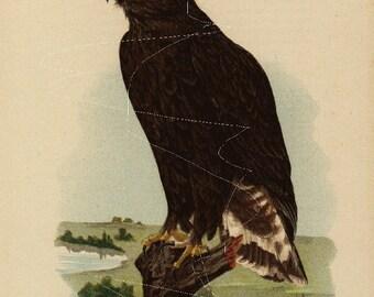 Antique Original  Natural History Colored Bird Print-  Rough Legged Hawk(Young)  - Hawk