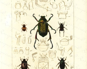 Original Antique Hand Colored Insects  engraving from 1829 - Lady Bugs- Beetles