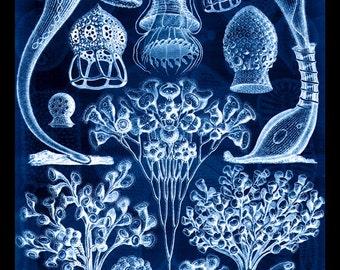 HAECKEL CILIATA PROTOZOA 5 antique prints science art print natural history vintage Victorian art print old lithograph prints 8x11 art print