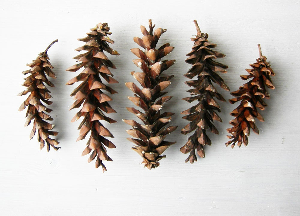 15 eastern white pine cones 58 long red brown by earthbeauties for Long pine cones