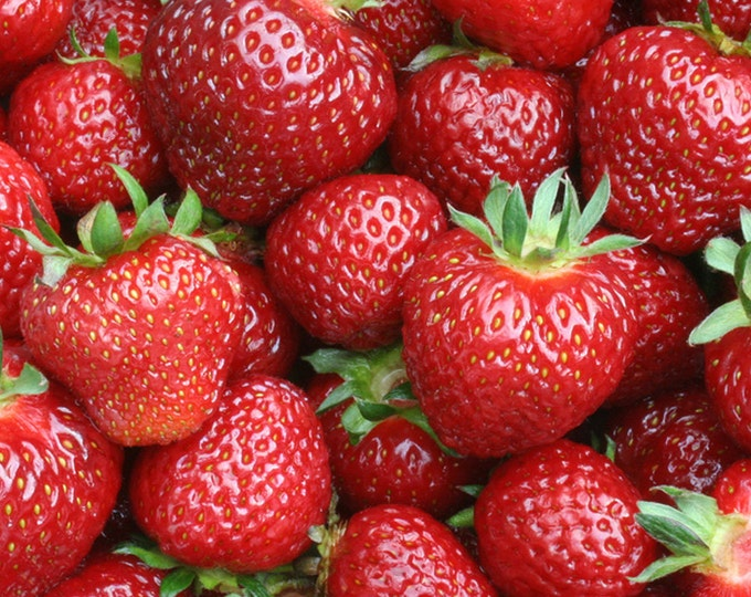 Earliglow Strawberry Plants Organic 10 Bare Root Plants June Bearing - Shipping Now