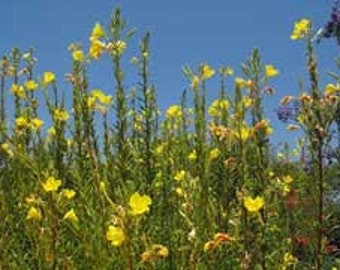 Tall Evening Primrose - Heirloom Medicinal Plant 40 Seeds