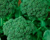 100 Heirloom Broccoli Seeds - Green Sprouting Calabrese - Heirloom Calabrese Broccoli Seeds, Non-gmo Broccoli Seeds, Heirloom Vegetable Seed