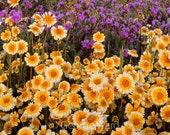 75 - Heirloom Daisy Seeds - Tidy Tips - Heirloom Wildflower Seed, Tidy Tips Seed, Heirloom Flower Seed, Non-gmo Wildflowers, Non-gmo Daisies