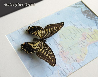 Vintage Map With Papilio Xuthus Real Butterfly Framed In Museum Quality Shadowbox