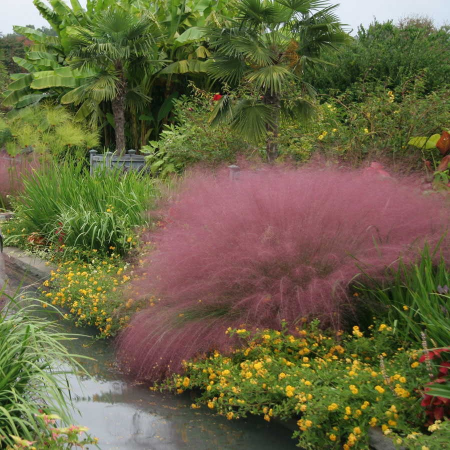 Big sale pink muhly ornamental grass seedsknown as hairawn for Ornamental grasses red color