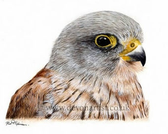Bird Print, Watercolor Painting, Kestrel Painting, artwork, bird of prey, giclee print