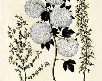 White Hydrangea art print Vintage botanical print garden wall art flowers art print home decor wall art antique print flower wall art Besler