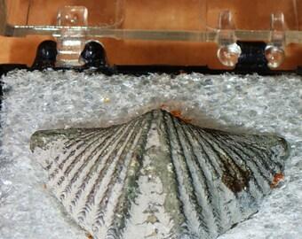 Rare Pyritized Shell Fossil- mucrospirifer mucronatus-Thumbnail
