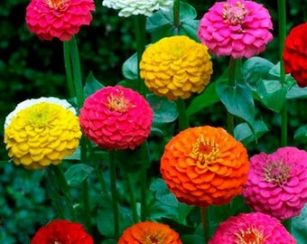 Zinnia-Cut & Come Again- 100 Seeds