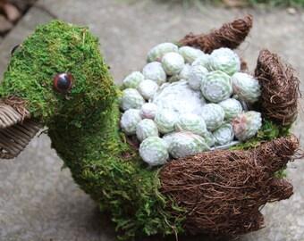 Sempervivum in wicker moss duck