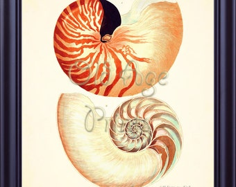 Knorr Seashell NAUTILUS POMPILIUS Art Print 8x10 Vintage Antique Sea Shell Plate 1 Ocean Life Natural History Beach House Wall Decor OL0202