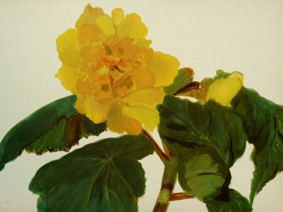 1940 Vintage color print of YELLOW BEGONIA FLOWERS. Ornamental