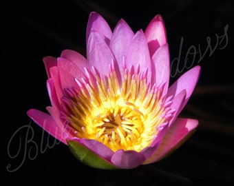 Water lily, lily, pink flower, spring flower, flower photography, nature photography, flower, nature, spring