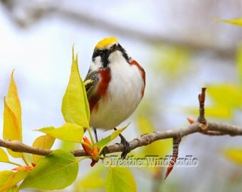 Chestnut Sided Warbler | Nature Photography | Fine Art Bird Photography | Colorful Songbird | Spring Migrant | Warbler Wall Art |  Print