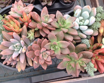 Succulent gardens . Beautiful with such vibrant colors all thru the arrangement.