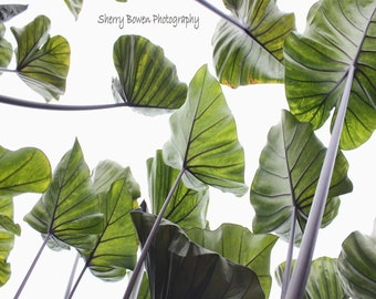 Elephant Ear Plant Photography, Nature Photography, Plant Photography, Botanical Gardens, Green