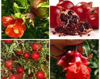 40 Sweet Pomegranate Fruit Tree - Punica Granatum Red Seeds / 40+ seeds