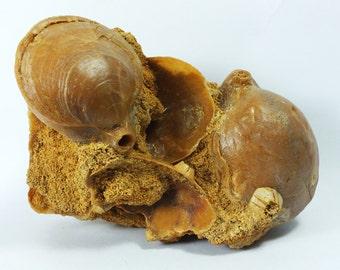 Fossil Brachiopod Shells 6 to 12 million years old. Collected from Dartmoor Dam, Dartmoor, Victoria, Australia. Freestanding fossil   EA1937