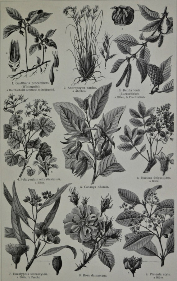 Perfume industry plants. Botany print.. Old book plate, 1904. Antique illustration. 111 years lithograph. 6 x 9'2 inches.