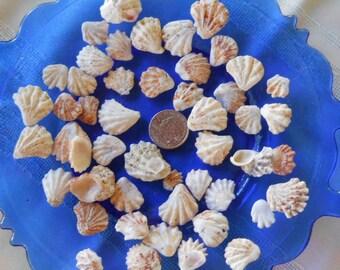 Seashells, Sanibel Island Shells, Florida souvenir, cat's paw shells, Florida seashells, kitten paw shell, Sanibel and Captiva Islands
