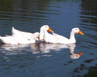 Pekin Ducks In Texas