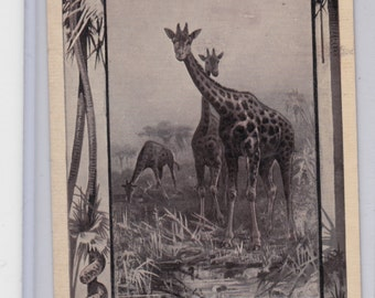 C1911 Antique Postcard Unusual Giraffe With Safari Border Africa