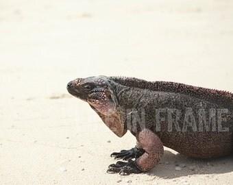 Iguana,animal,lizard,photography