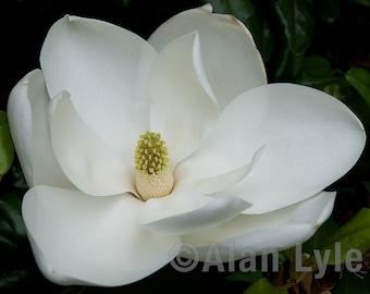 Magnolia Blossom,Nature Photography,Fine Art Photographic Print,Flower,Ijams Nature Center,Blossom - DSC3231A