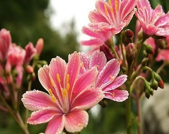 Lewisia Sunset Strain Flower Seeds (Lewisia Cotyledon) 10+Seeds