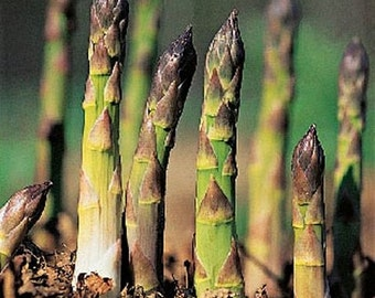 Asparagus Mary Washington Vegetable Seeds (Asparagus officinalis) 50+Seeds