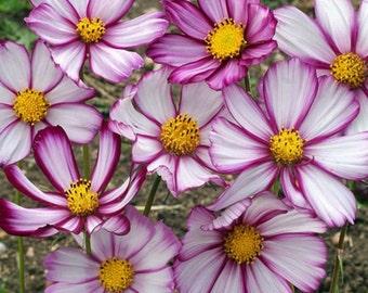 Cosmos Sensation Picotee Flower Seeds (Cosmos Bipinnatus) 50+Seeds