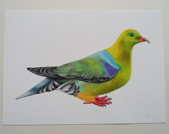 Bruces Green Pigeon Illustration Giclee Print, A4