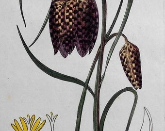1835: Snake's Head Flower, Fritillaria Meleagris. Beautiful Original Botanical Antique Engraving. Handcolored.