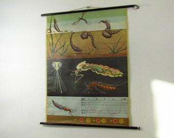 Original vintage school pull down chart map mosquito | Jung-Koch-Quentell/Hagemann | Germany | 60s