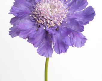 Flower Photography - Purple Botanical Photograph, Home Decor, Floral Still Life Photography, Large Wall Art