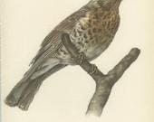 Fieldfare, Thrush, Vintage Bird Print, Ornithology 105, Natural History 1959, Demartini, Country Cottage Decor, Rustic Cabin Decor, 8 x 10