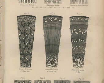 Antique Botanical Engraving 1: Internal Structure of Woods Magnified, Black & White, Kitchen Print Decor