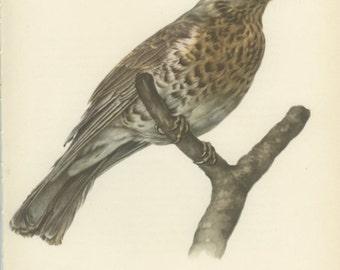 Fieldfare, Thrush, Vintage Bird Print, Ornithology 105, Natural History 1959, Country Cottage Decor, Rustic Cabin Decor, 8 x 10