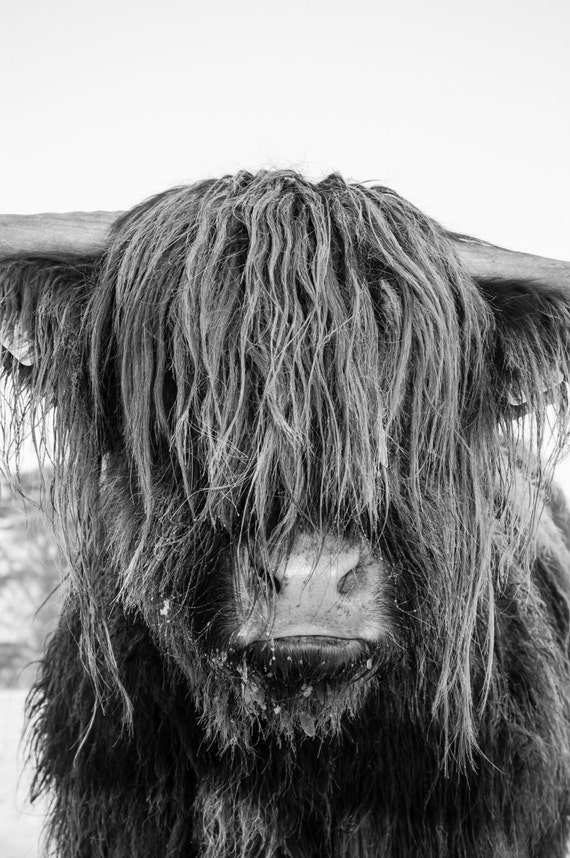 Highland Cattle 23 - Fine Art Photography - Highland Cow - Nature Photography