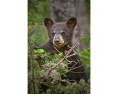 Wild Black Bear Cub peeking over Pine Branches at the Vince Shute Wildlife Sanctuary by Orr Minnesota No.302 - A Fine Art Animal Photograph
