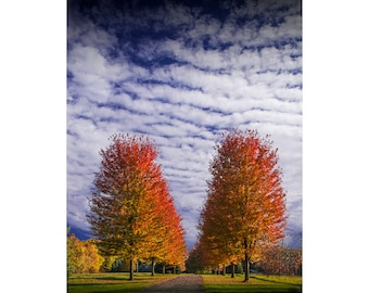 Rows of Red Autumn Trees with Cirrus Clouds against a Blue Sky in Southwest Michigan No.0590 - A Fall Landscape Photograph