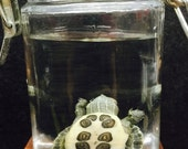 Preserved Turtle Hatchling Red Eared Slider